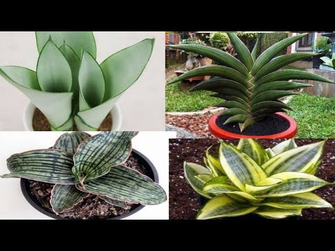 Tips On Temperature Requirements For Snake Plants
